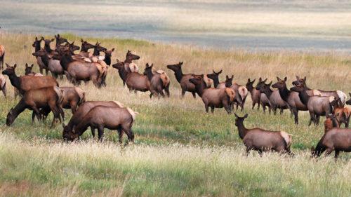 Wussow-elk