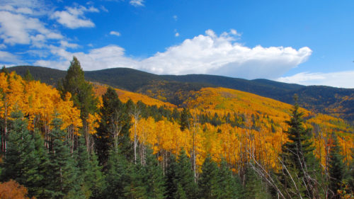 Blazing Aspens In The Santa Fe National Forest