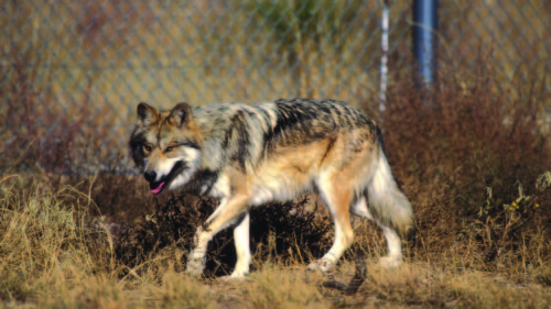 Mexican wolf USFWS